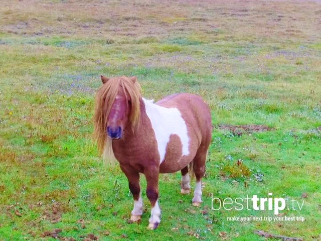 Ponies and 3 More Reasons to Visit Scotland's Shetland Islands