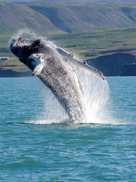 Save Hundreds on a Globus Iceland Tour with Whale Watching