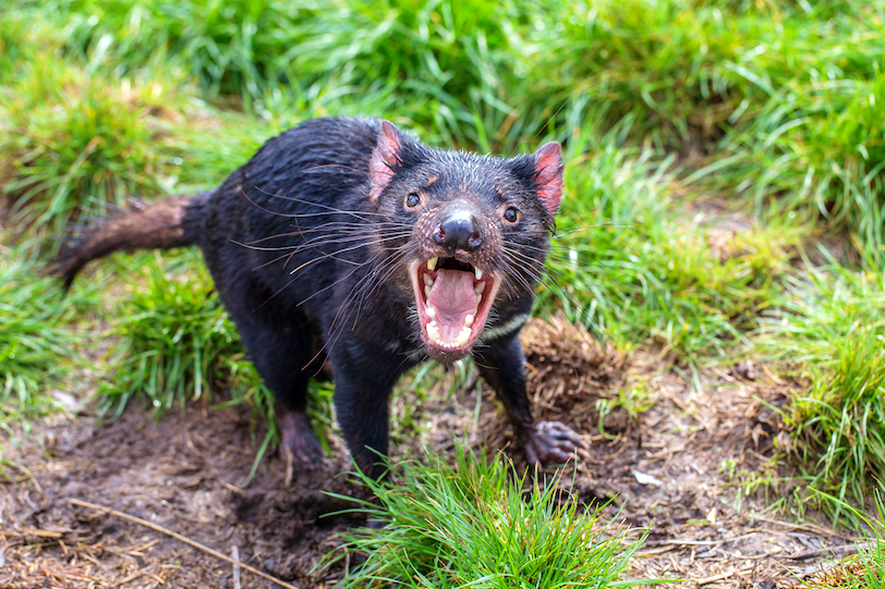 10 Amazing Facts about the Tasmanian Devil