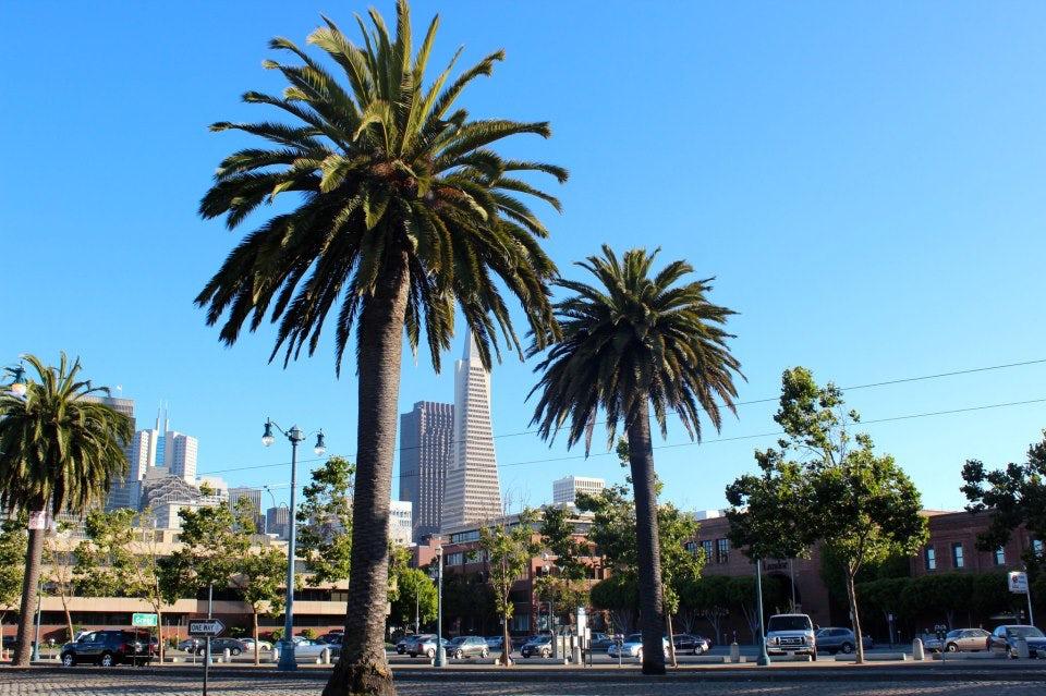 California Palms along Embarcadero.jpg