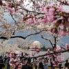 Cherry-blossom-trees-in-b-001.jpg