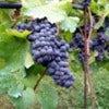 Vineyard_in_Montone.jpg