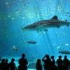 Male_whale_shark_at_Georgia_Aquarium.jpg
