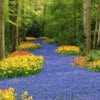 Tulipe_de_keukenhof.jpg