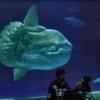 Mola_mola_ocean_sunfish_Monterey_Bay_Aquarium_2.jpg