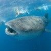 the_whale_shark_2.jpg