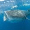 the_whale_shark_3.jpg
