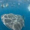 the_whale_shark_1.jpg