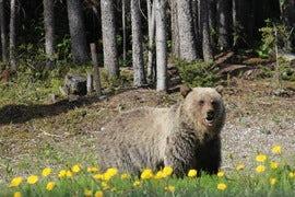 Banff Bear.JPG