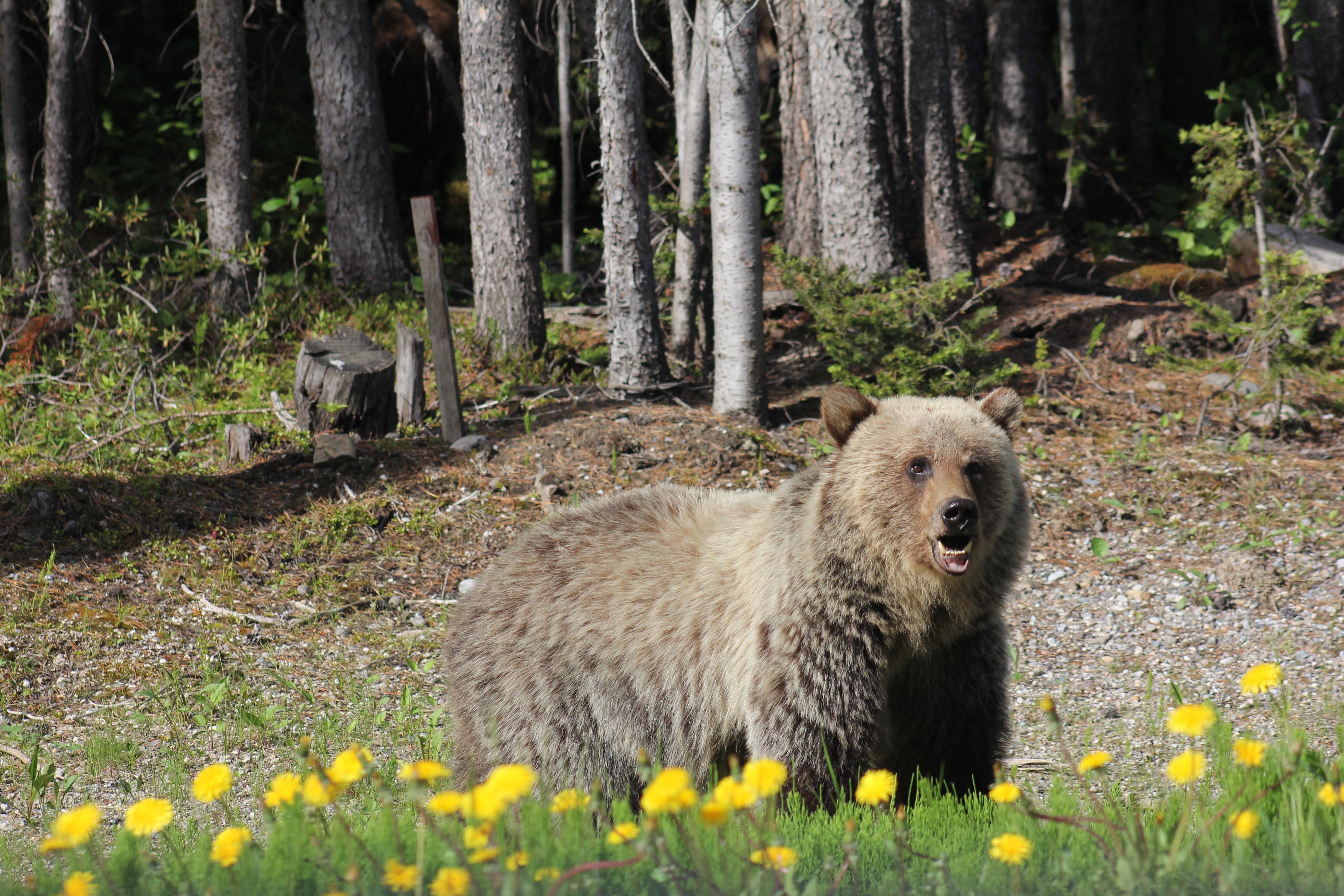 Banff Bear!