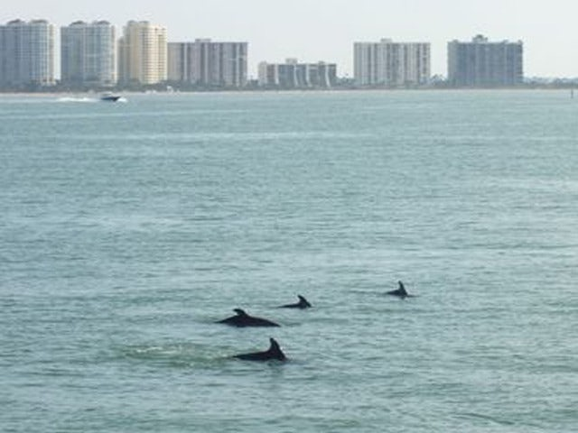 See Dolphins Playing on a Clearwater Dolphin Watching Tour