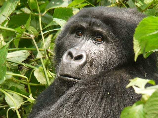 Embark on a quest to meet mountain Gorillas the worlds most endangered species while in Africa