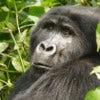 Oruzogo Mountain Gorilla [1].jpg