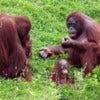 Orangutan [1].jpg
