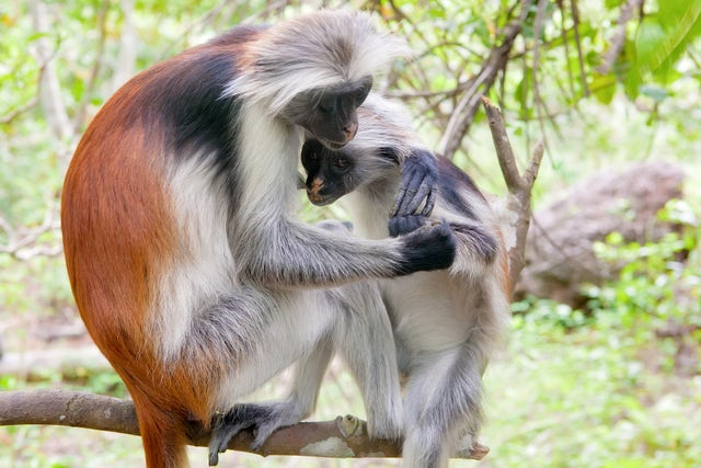 Seeking Out Zanzibar's Red Colobus Monkeys