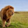 Kenya Lion .jpg