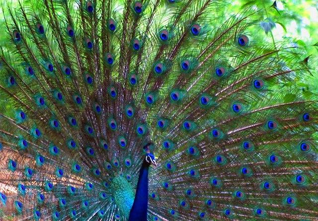 Kabini-Peacock.jpg