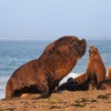 Seal and South American sea lion at the coast from Peninsula Valdes.jpg