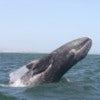 A gray whale breaches for fun in a sanctuary lagoon in Baja, Mexico.jpg