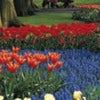 tulip-banner.jpeg