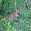 Leopard hunting in Londolozi privet reserve.jpg
