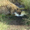 Cheetah Drinking.jpg