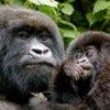 COMP-xx-Volcanoes-Safaris-UK-Gorilla-and-baby-2012-300x199.jpg