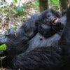 COMP-Emily-Butler-Gorilla-bliss-20122-300x200.jpg