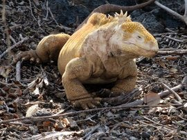 Galapagos yellow Iguana.jpg