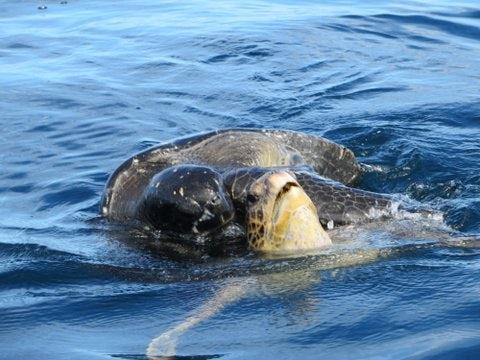 Galapagos turtle water.jpg