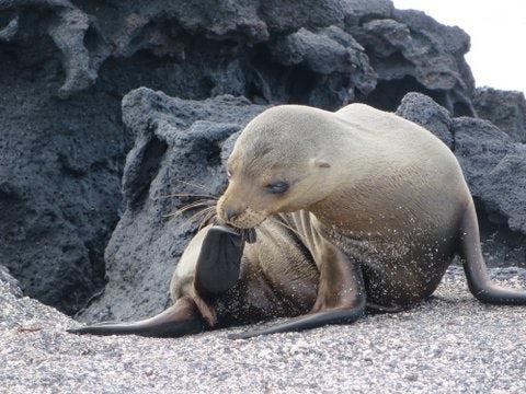 galapagos seal lick.jpg