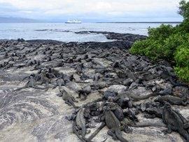 Galapagos iguanas lots.jpg