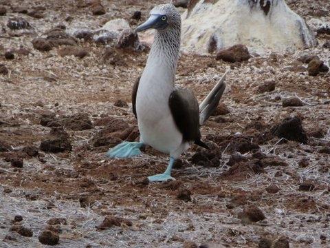 Galapagos blue boobie.jpg