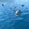 Galapagos seals swimming.jpg