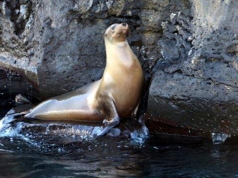 Galapagos seal.jpg