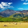 New Zealand sheep.jpg