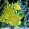 Gastronomy, Vineyards & Grands Crus