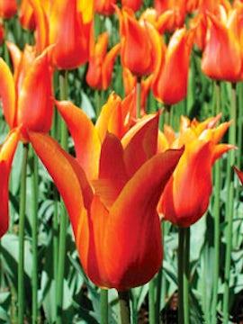 Tulip Time Cruise