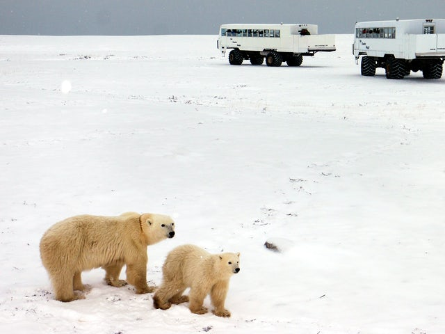 Churchill Polar Bears